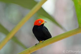 Photo: Red-capped Manakin @ Bosque del CaboLodge, Osa Peninsula