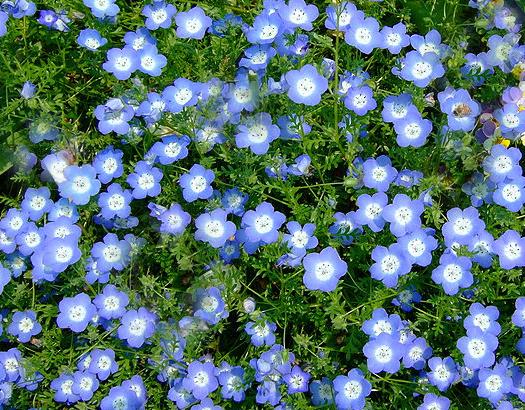 California Native Plant Garden Design entry path between ceanothus groundcovers in southern california front yard native plant garden Plant Profile Nemophila Menziesii Baby Blue Eyes