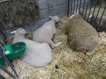 2018.02.25-026 moutons berrichons du Cher