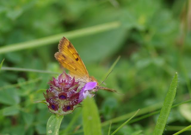 Noctuidae : Catocalinae : Euclidia glyphica (LINNAEUS, 1758), verso. Les Hautes-Lisières (Rouvres, 28), 24 août 2012. Photo : J.-M. Gayman