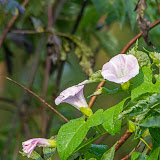 Вьюнок полевой (Convolvulus arvensis)