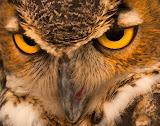 """""""Horned Owl Close-up"""" by Tim Snyder"""