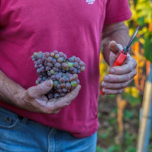 ....L�entrée en scène remarquée pendant ces vendanges 2014 de ce petit insecte montre bien la non présence d�insecticide dans les vignes d'Henri !