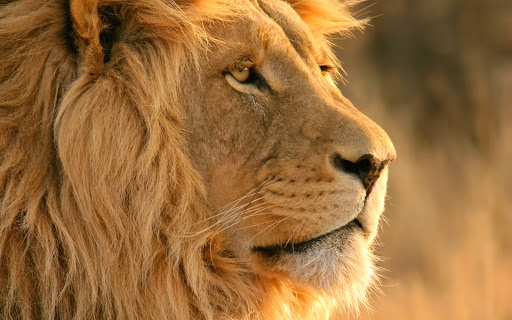 Lion Head The King of Jungle