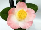 桃色地 底白 一重 椀咲き 小さい筒しべ〜輪芯 中輪
