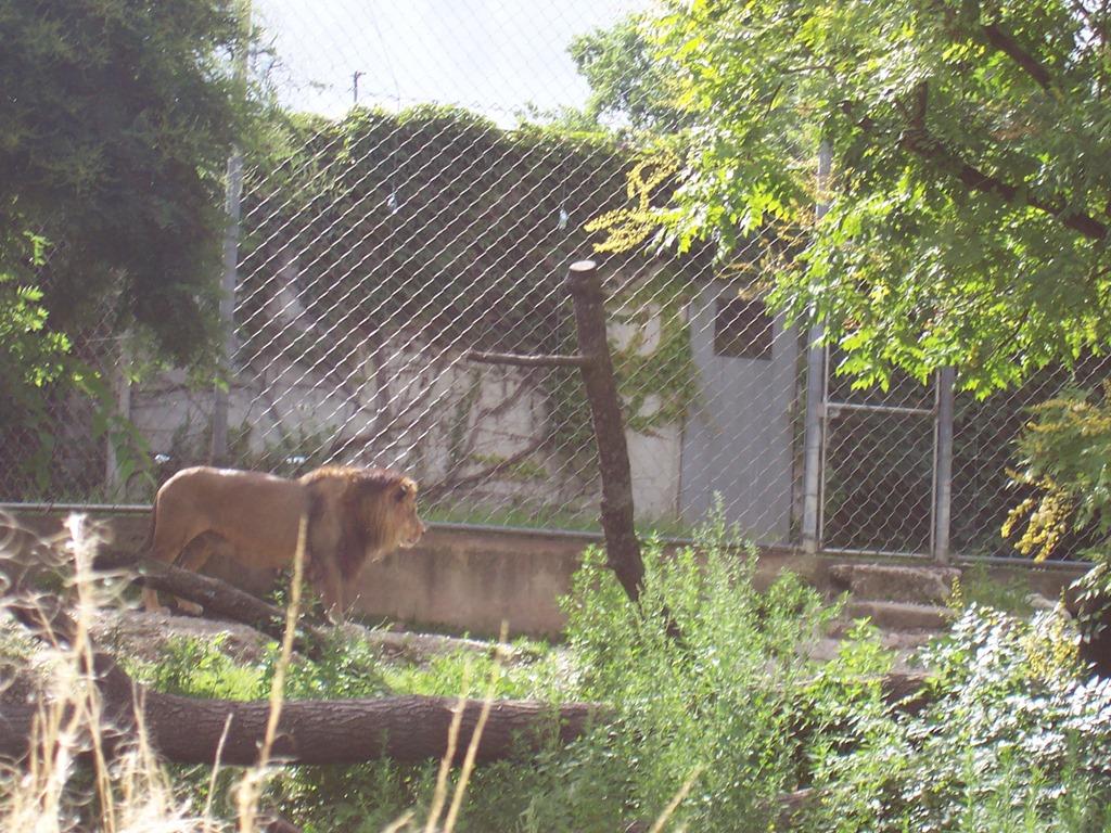 [2007.07.05-005-lion-de-lAtlas6]