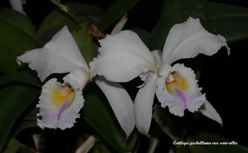 Cattleya gaskelliana var semi-alba IMG_8494b%252520%252528Large%252529
