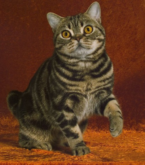 american-shorthair-cat-brown