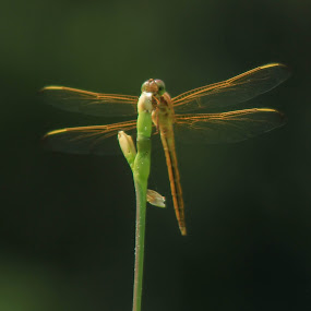 dragonfly by Brendon Hallman - Animals Insects & Spiders ( dragonfly, macro, plants, insect, bokeh,  )