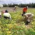 Babinsa Dampingi BPP Pertanian Bantarsari Panen Ubinan Padi dan Kedelai
