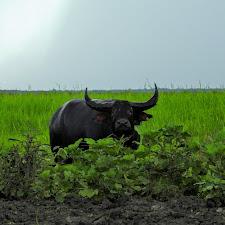 Big black buffalo looks at us like we owe him money!