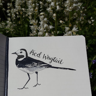 Pied Wagtail :: www.AliceDrawsTheLine.co.uk