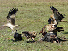 wildlife-falcons-1.jpg