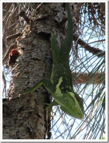 2015-08-22 Florida, PBG - Cuban Knight Anole Lizard (10)