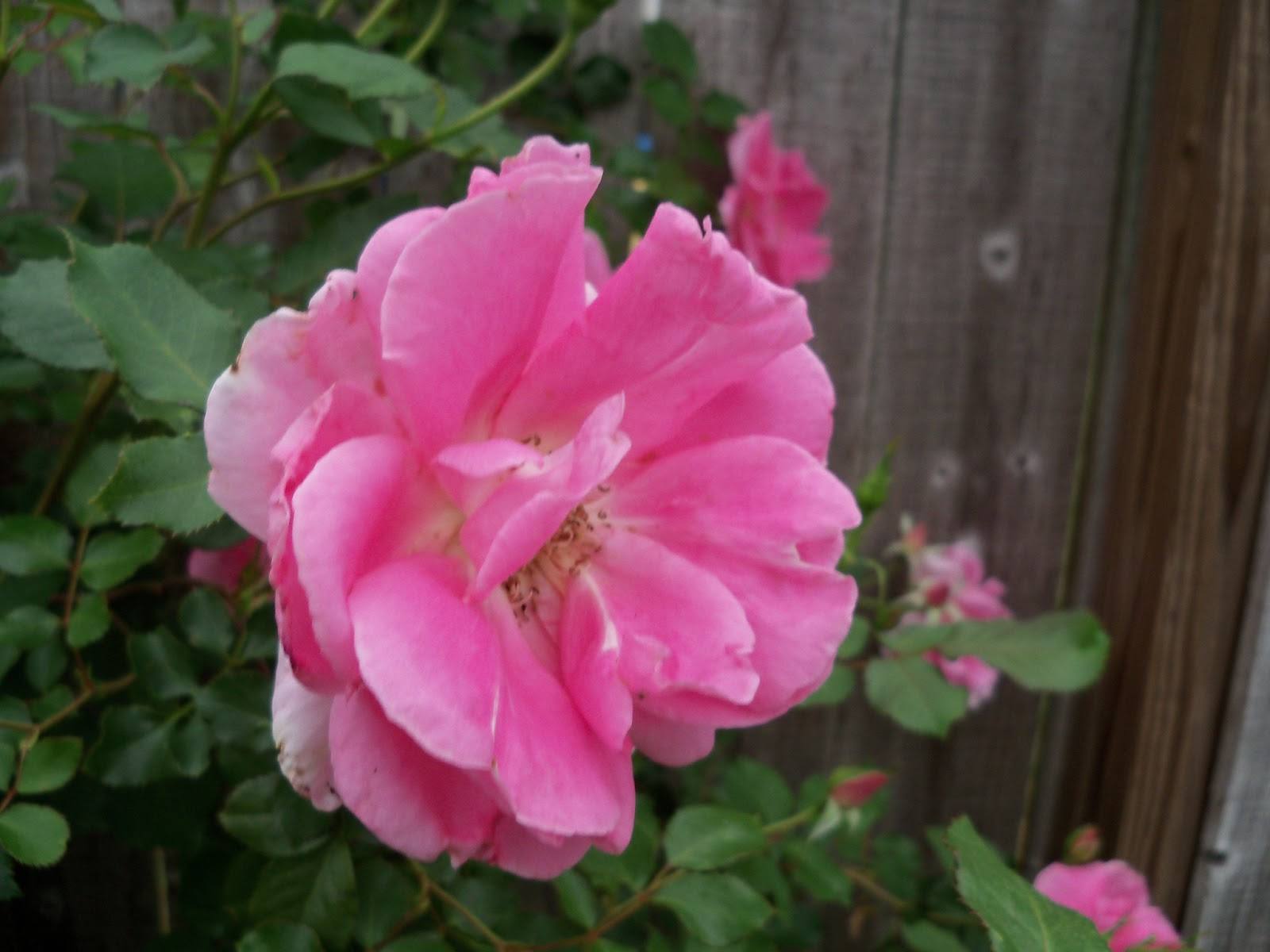 Gardening 2011 - 100_7263.JPG
