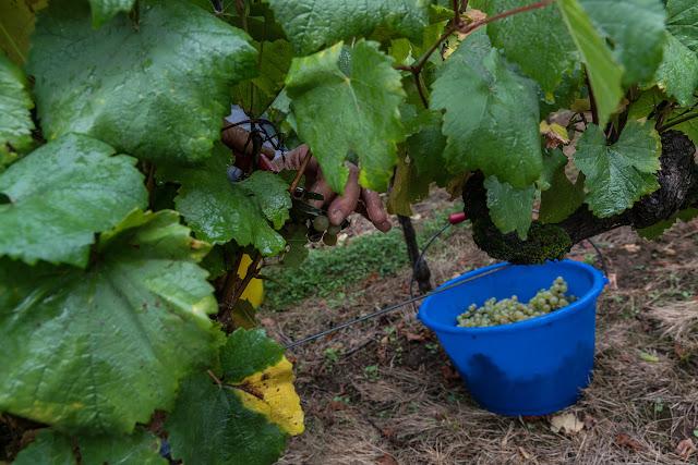 Petites vendanges 2017 du chardonnay gelé. guimbelot.com - 2017-09-30%2Bvendanges%2BGuimbelot%2Bchardonay-116.jpg