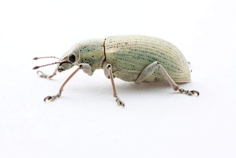 Weevil - Curculionidae