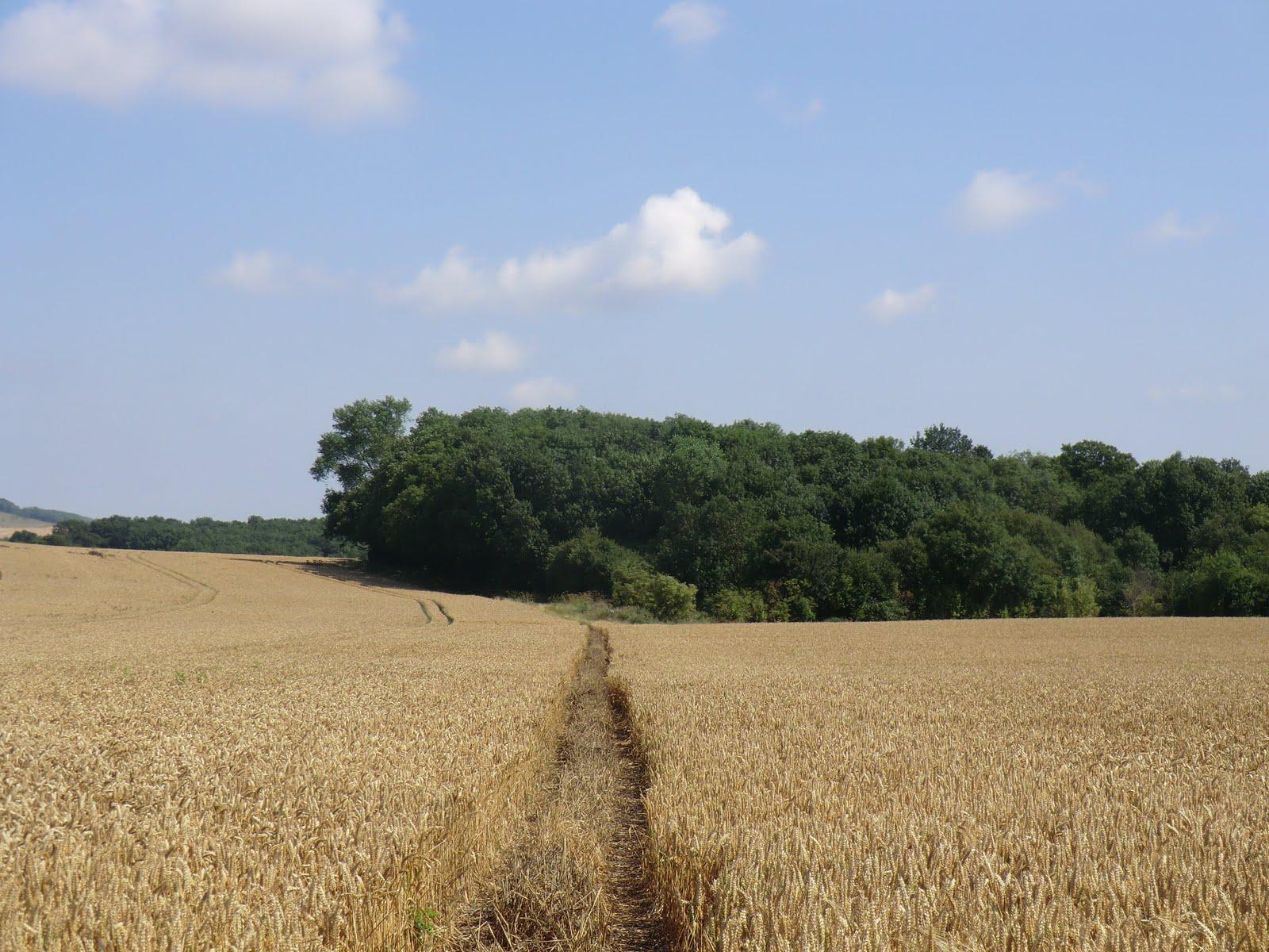 CIMG3196 Through a wheat field