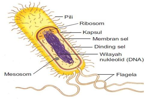 gambar sel bakteri 2