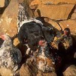 AE5 Chickens.jpg