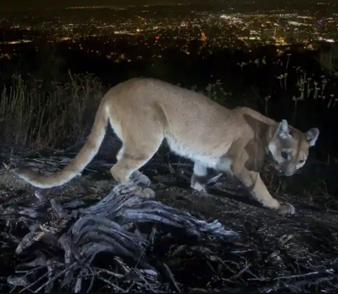 Mother fights off mountain lion that attacked her 5-year-old son