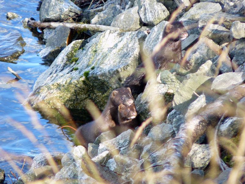 Divers animaux de Norvège au FZ8 P1170262tr