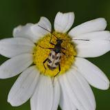 Lepturinae : Pachytodes cerambyciformis (SCHRANK, 1781). Les Hautes-Lisières (Rouvres, 28), 13 juin 2012. Photo : J.-M. Gayman