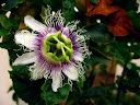 A passionfruit (grenadilla) flower.