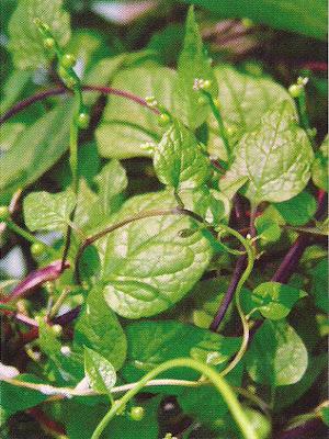 Indian Spinach - Medicinal Plants healing