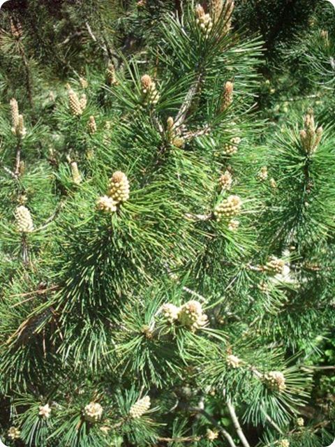 flora-alpina-Pinus_mugo_mugo