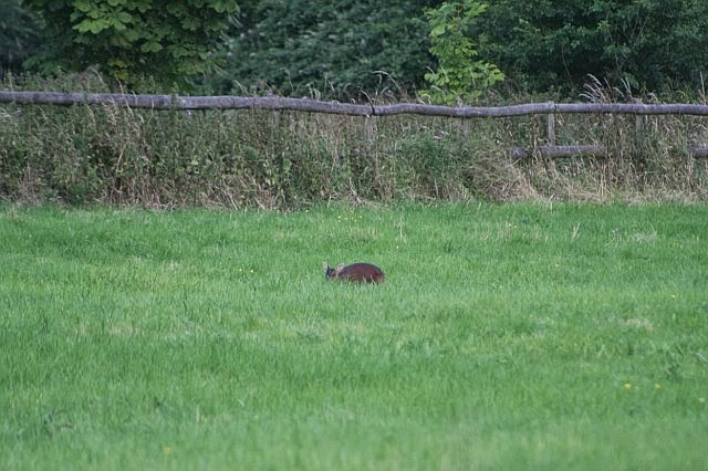 Woodhurst Wildlife Muntjac In The Grassfield - muntjac02.jpg