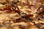 POUSSIN DE GELINOTTE   Mimétique sur son lit de feuilles mortes