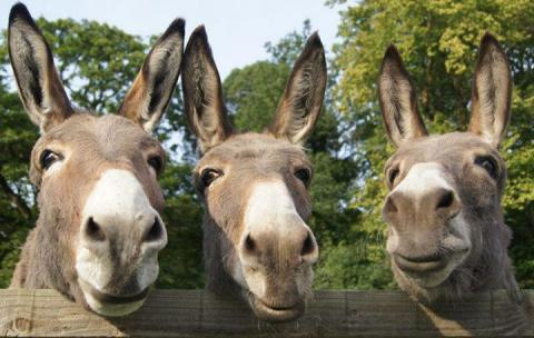 Fakta Menarik Tentang Keledai Ini Keren Banget Loh 30 Fakta Menarik Tentang Keledai Ini Keren Banget Loh!