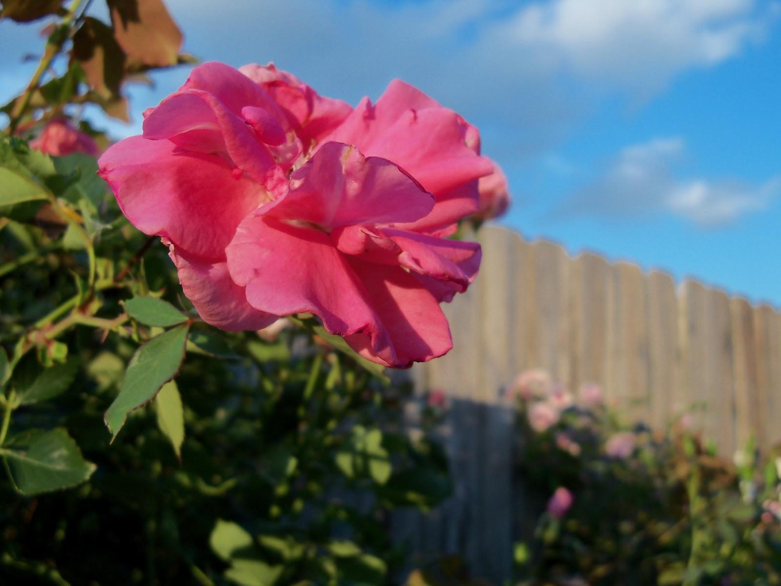 Gardening 2012 - 115_1831.JPG