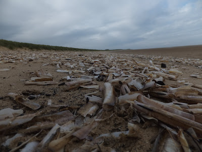 thousands upon thousands of razor shells which can be found on the high tide mark along the beach at Holkham