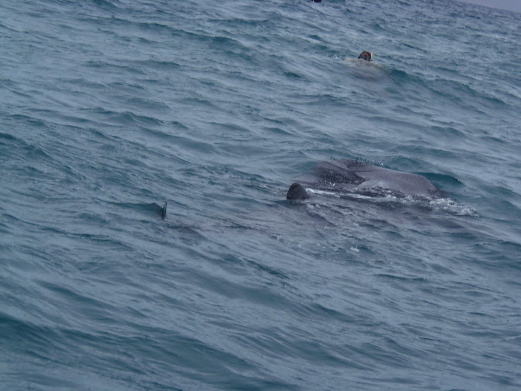 Grand requin-baleine