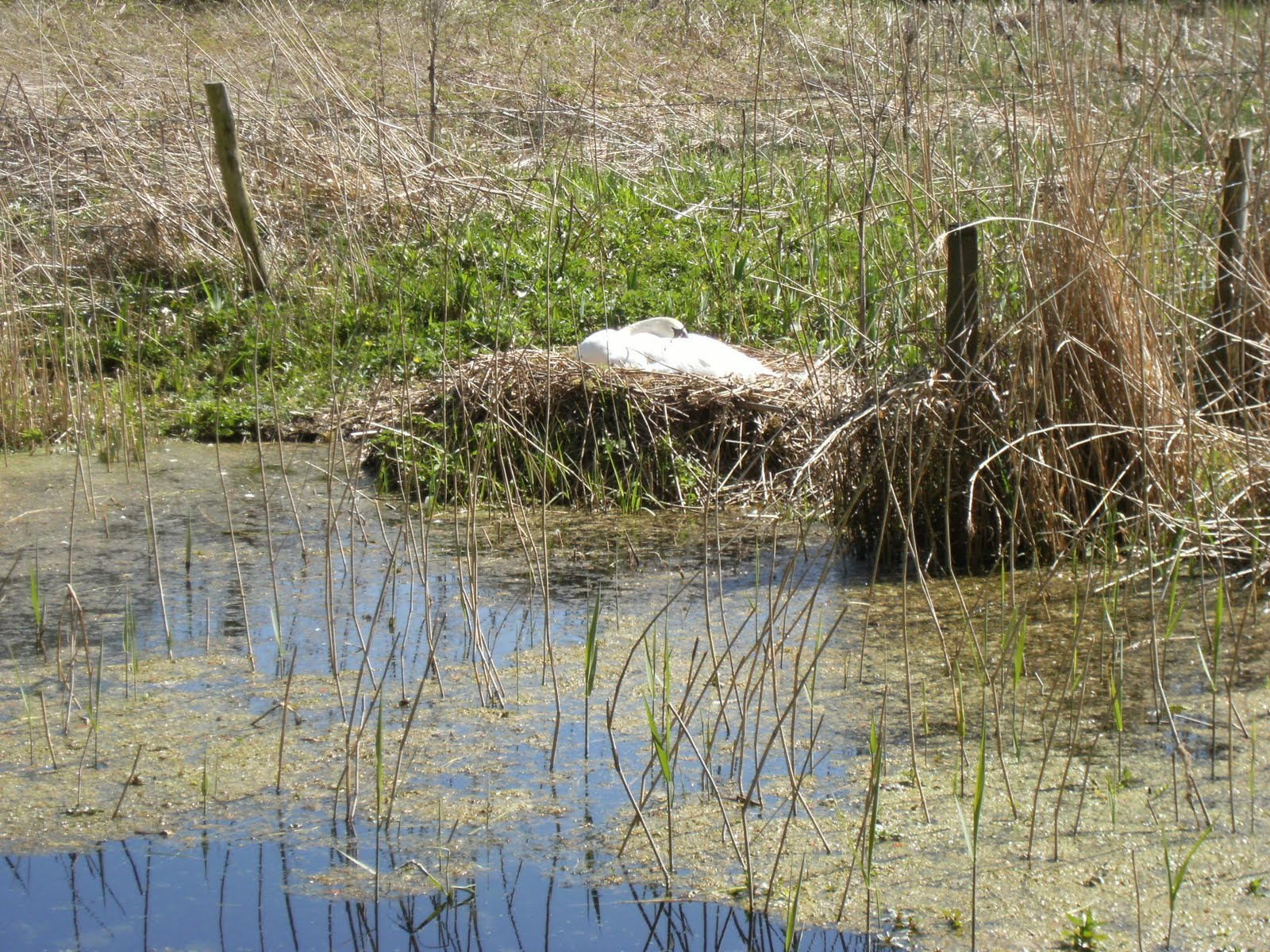 1004170009 Swan's nest near Odiham Castle