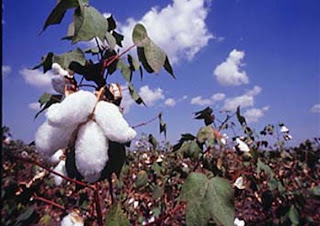 cotton requirements are locally met