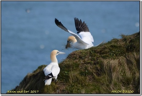 Bempton Cliffs - April