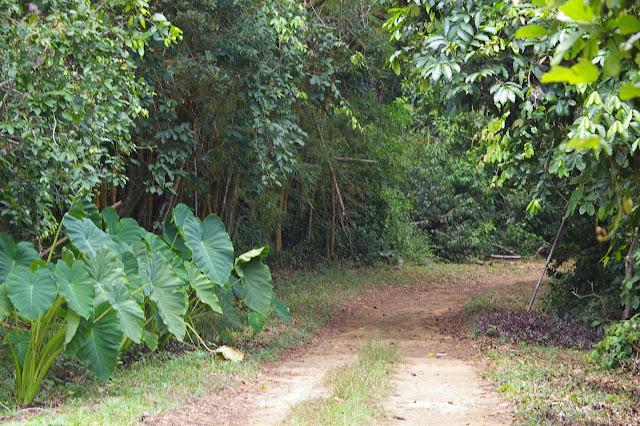 Lieu de passage de Morpho helenor achillaena et de Parides. Ilha Grande (RJ), 17 février 2011. Photo : J.-M. Gayman