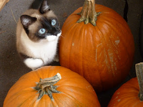 Photo: What happens next... Caturday....  Yoshi and her pumpkins.... -------------------------------------------------- .. #Caturday ... hosted by +Christophe Friedli & +Lee Daniels .... ^.,.^