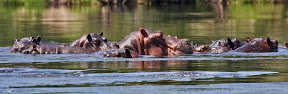 Pod of Hippos on the Zambezi River, Botswana