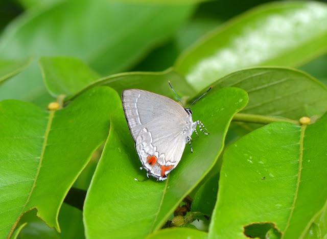 Ostrinotes tarena HEWITSON, 1874, mâle. Camp Patawa, Montagne de Kaw (Guyane). 15 novembre 2011. Photo : M. Belloin