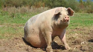 Cerdos para China