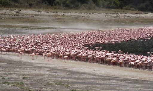 flamencos_flamingos_empakai_crater_ngorongoro_tanzania_hisiasafaris.com_.jpg