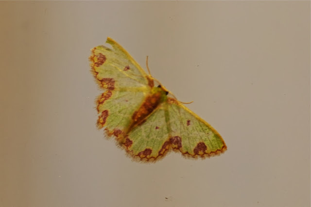 Geometridae : Geometrinae : Synchlora gerularia (HÜBNER, 1823). Cabañas Rio Grande, Nangulvi (Imbabura), 11 décembre 2013. Photo : J.-M. Gayman