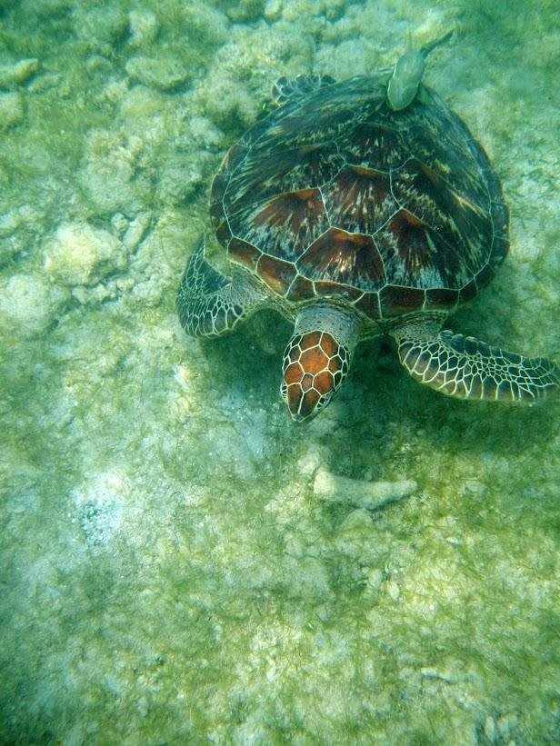 Tortues marines à Mayotte DSCN1164