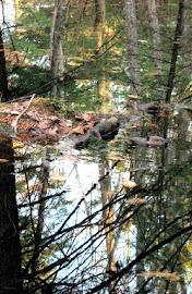 Beaver in water.jpg