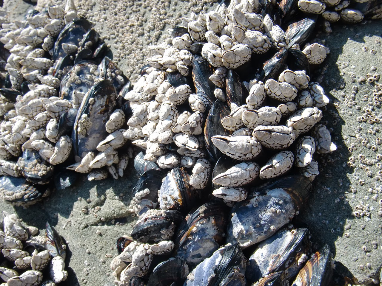 Gooseneck Barnacles and muscles