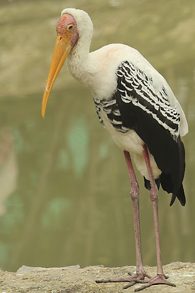 Vandalur Zoo - Painted Stork